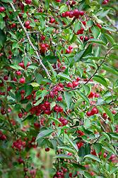 The berries of Malus hupehensis - Hupeh crab apple - syn. Malus theifera,  Pyrus malus theifera