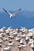 Australasian Gannet Pictures - Photos