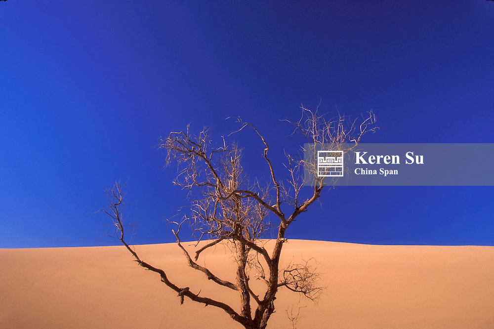 Barren tree, golden sand and  blue sky in the desert, Dunhuang, Gansu Province, Silk Road, China
