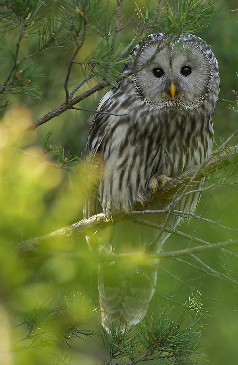 Ural owl, Strix uralensis, Bergslagen, Sweden