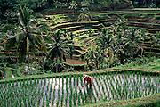A farmer works in his terraced rice fields at Penatahan, near Ubud, Bali, Indonesia.