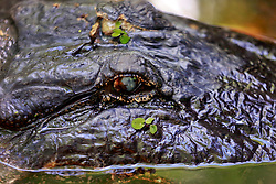 04 June 2014. Jean Lafitte National Historic Park, Louisiana.<br /> Alligator in the swamp at the Barataria Preserve wetlands south or New Orleans.<br /> Charlie Varley/varleypix.com