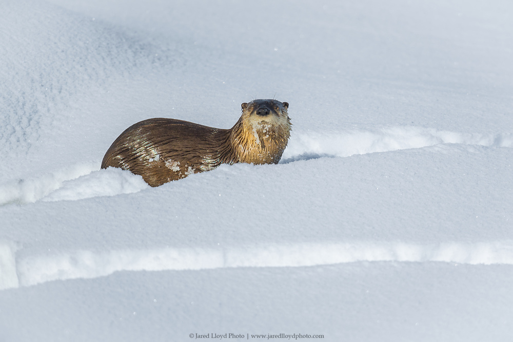 an otter travels through the snow across a frozen Yellowstone River
