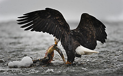 A bald eagle (Haliaeetus leucocephalus) feeds on a chum salmon (Oncorhynchus keta) in the Chilkat River as it snows in the Alaska Chilkat Bald Eagle Preserve near Haines, Alaska. During late fall, bald eagles congregate along the Chilkat River to feed on salmon. This gathering of bald eagles in the Alaska Chilkat Bald Eagle Preserve is believed to be one of the largest gatherings of bald eagles in the world.