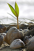 Shoot grows from fallen coconut, Queensland, Australia RESERVED USE - NOT FOR DOWNLOAD -  FOR USE CONTACT TIM GRAHAM