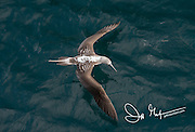 Aerial view of a Blue-footed booby in flight over the Pacific Ocean near the Galapagos islands.
