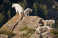 Early September alone the Wasatch front in northern Utah along the cliffs above Willard city a group of Mountain Goats travel across the cliffs in their search for food.