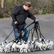 "ADAM MORLEY TRYING TO TAKE THE DALMATIANS FOR A WALK...This is what it's like taking 18 playful dalmatian pups for a walk...The world record-breaking litter gave owner Adam Morley a ruff time when he took them for a play in the park...The spotty siblings, now 11 weeks old, left him all tied up as they enjoyed a bit of rough and tumble before heading to their new homes...""It was a nightmare, I may as well have been walking 101 Dalmatians,"" said Mr Morley...""Most of the dogs wanted to walk in different directions, while some of them just sat down and wouldn't budge...""I got in a terrible tangle. It was like being in the middle of a spotty blizzard.""..The yappy family has now been split up and the mischievous mutts are settling in with their new owners all over the country...Mr Morley, 40, and wife Nicola, of Melton Mowbray, Leics, have kept just two of the pups, Red Boy and Rudolph, to keep three-year-old mum Button company...""We were really sorry to see them go. We do miss them and I cried when they left,"" said Mrs Morley, 31...SEE COPY CATCHLINE Record-breaking dalmatians leave home"
