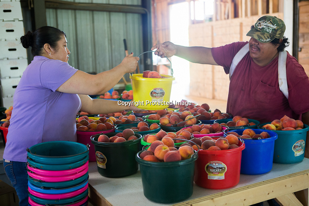 José Nava hands a bucket of peaches to Griselda Nava after driving in a load of freshly picked peaches from the orchard at Cherry Creek Orchards in Pontotoc.