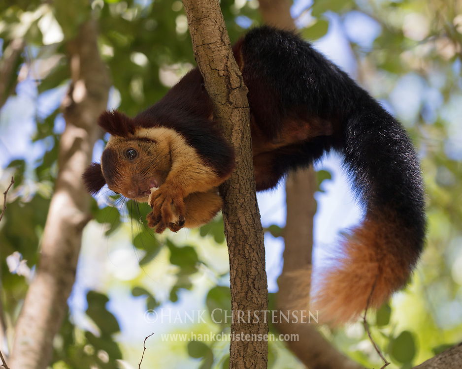 An indian giant squirrel perches in a tree and eats a piece of banana, Mudumalai National Park, India.
