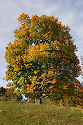 Fall foliage, tree in field with autumn color