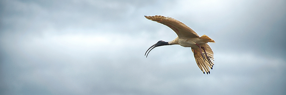 Flying Ibis in Panorama