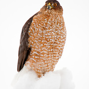 A sharp-shinned hawk sits on a fence post.