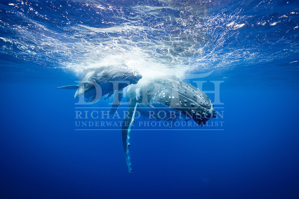Megaptera novaeangliae (Humpback Whale) female and calf off the coast of the Vava'u Island group in the Kingdom of Tonga..Saturday 01 September 2012..Photograph Richard Robinson © 2012.