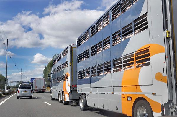 Nederland, A12, 14-8-2018Vrachtwagen met open aanhanger gevuld met varkens rijdt over de snelweg naar zijn eindbestemming, het slachthuis, slachterij in binnenland of het buitenland .Foto: Flip Franssen