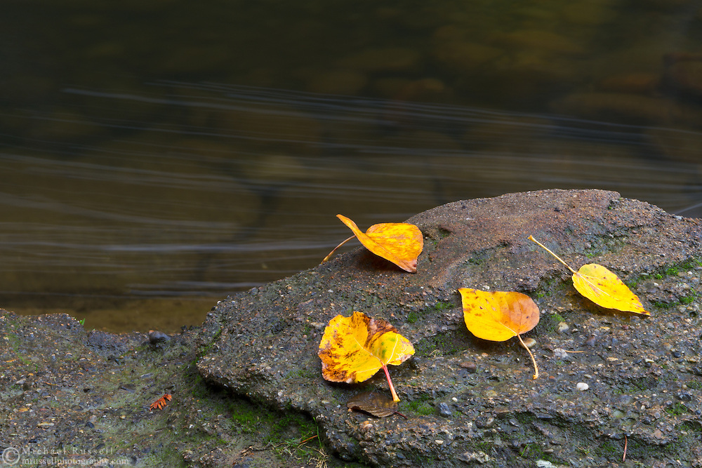 Fallen Poplar leaves on the shore of the Englishman River at Englishman River Regional Park in the Nanaimo Regional District, British Columbia, Canada