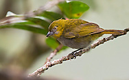 Yellow-throated Bush-Tanager (Chlorospingus flavigularis). El Queremal, Valle del Cauca