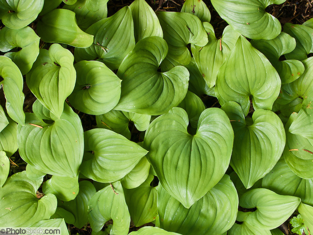 False Lily-of-the-Valley (Maianthemum, in the Lily Family) grows with heart shaped leaves in the verdant Central Cascades of Washington, USA. Hike to Lake 22 on the Mountain Loop Highway near Verlot Visitor Center, in Mount Baker - Snoqualmie National Forest.