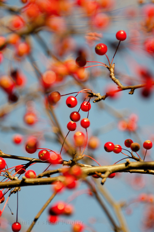 Tiny red berries in a crabapple tree, Bar Harbor, Maine.