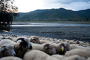 A flock of sheep from the village of Tsinubani move along the  banks of the Alazani River. Republic of Georgia.