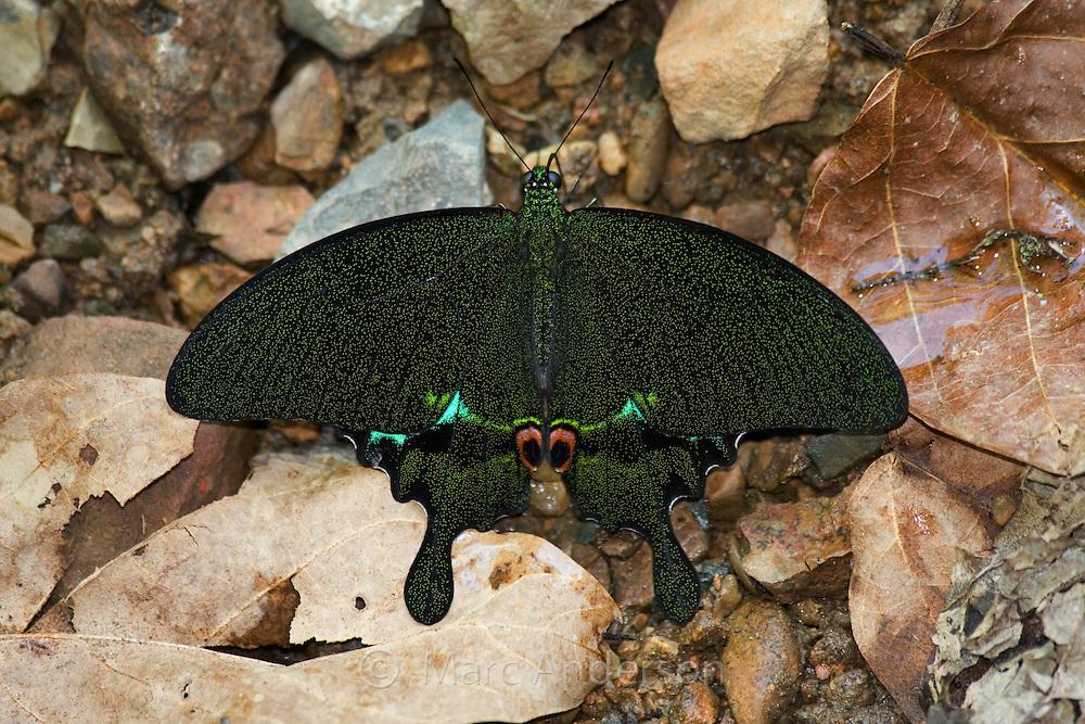 Emerald Swallowtail (Papilio palinurus) butterfly