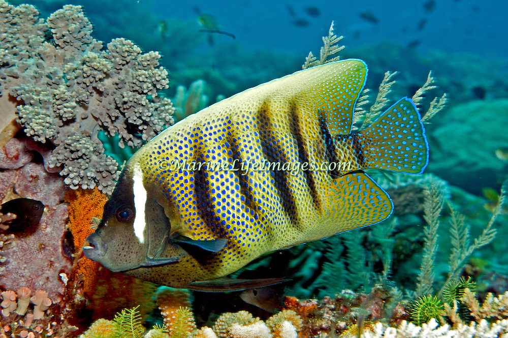 Six Banded Angelfish inhabit reefs. Picture taken Lembeh Straits, Sulawesi, Indonesia.