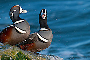 Harlequin Ducks, Histrionicus histrionicus, males, Barnegat Light, New Jersey
