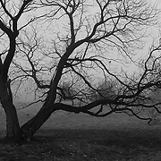 &quot;Gnarled Within Fog&quot; B&amp;W<br /> <br /> Beautiful gnarled old tree within thick fog! A lovely moody image in B&amp;W!!<br /> <br /> All about Fog by Rachel Cohen