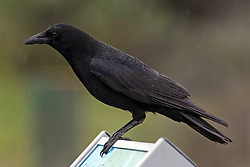 American Crow (Corvus brachyrhynchos) Baylands Nature Preserve, Palo Alto, California, United States of America