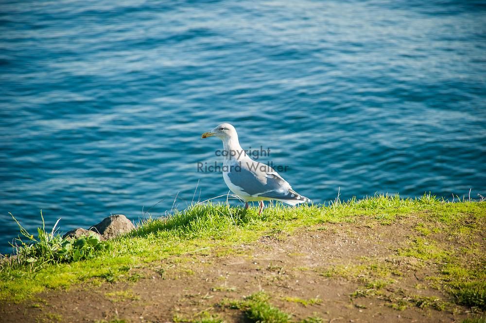 2017 NOVEMBER 06 - Seagull  near Alki Beach, Seattle, WA, USA. By Richard Walker