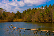 A dead winter tree branch  in a pond surrounded by live trees with the colors of spring