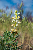 Native to western North America, the velevet lupine is an uncommon member of the pea family with very fuzzy flowers that range from purple to white, and often have a brownish coloration to them as they age, with new flowers blooming on the same stem. This one was found in Central Washington in the sagebrush desert in Grant County, south of Coulee City.