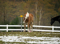 The horses at Castle in the Clouds were intrigued by the activity from their guests playing disc golf over the weekend.  (Karen Bobotas/for the Laconia Daily Sun)