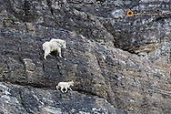 Mountain goat nanny with kid in Glacier National Park, Montana, USA