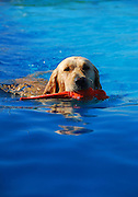 Retriever Swimming
