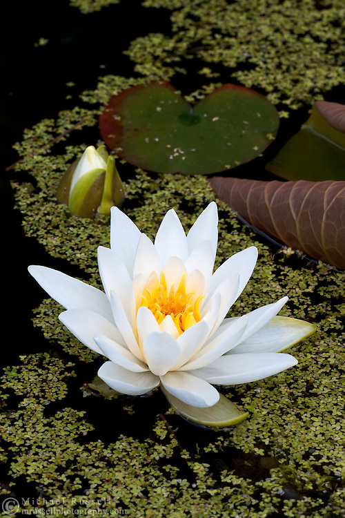 A Water Lily flower in a garden pond