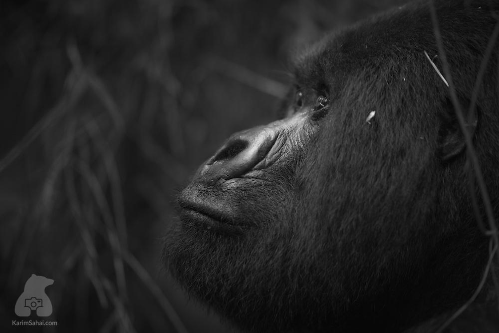 Guhonda, World's Largest Mountain Gorilla, Rwanda