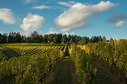 Fall colors, Beacon Hill winery & vineyard, Yamhill-Carlton AVA, Willamette Valley, Oregon