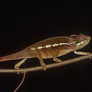 Madagascar Reptiles