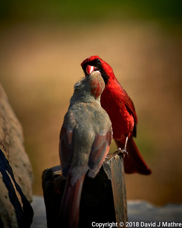 Male Northern Cardinal Feeding a Female. (Courtship Behavior???). Image taken with a Nikon D4 camera and 600 mm f/4 VR lens (ISO 100, 600 mm, f/4, 1/800 sec)