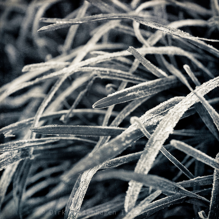 Frost covered leaves of grass