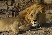 Lion (Panthera leo)<br /> Moremi Game Reserve, Okavango Delta<br /> BOTSWANA<br /> RANGE: Sub-Saharan Africa