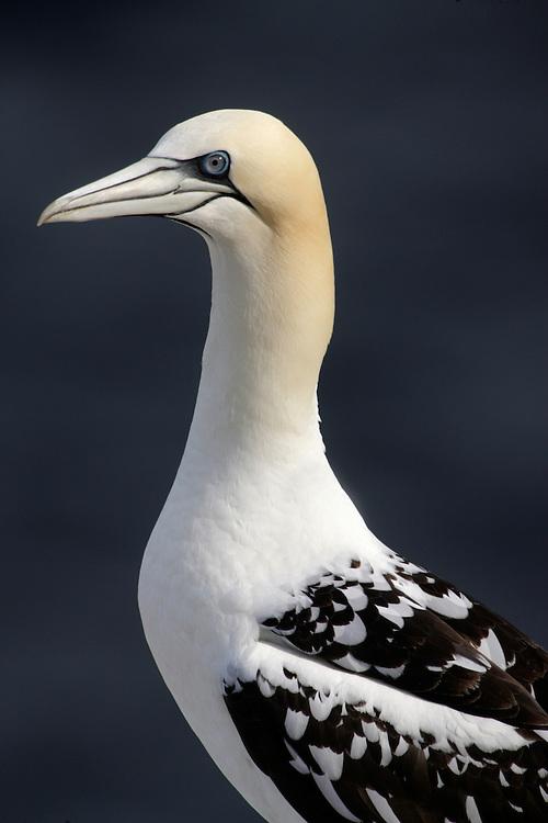 Gannet, Sula bassana, immature Ireland South east coast Saltee Islands