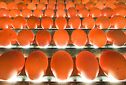 Free range eggs are examined for quality over a bright light and individually examined for consistency