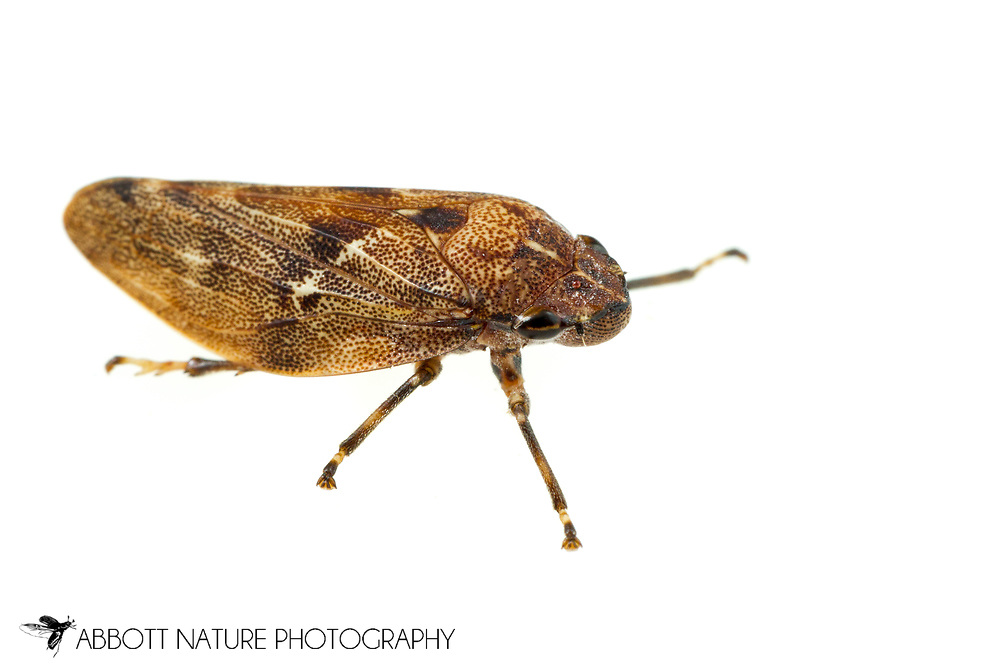 Pine Spittlebug (Aphrophora cribrata)<br /> United States: Alabama: Tuscaloosa Co.<br /> Tulip Tree Springs off Echola Rd.; Elrod<br /> 33.33480, -87.79355<br /> 3-Jun-2016<br /> J.C. Abbott #2825 &amp; K.K. Abbott