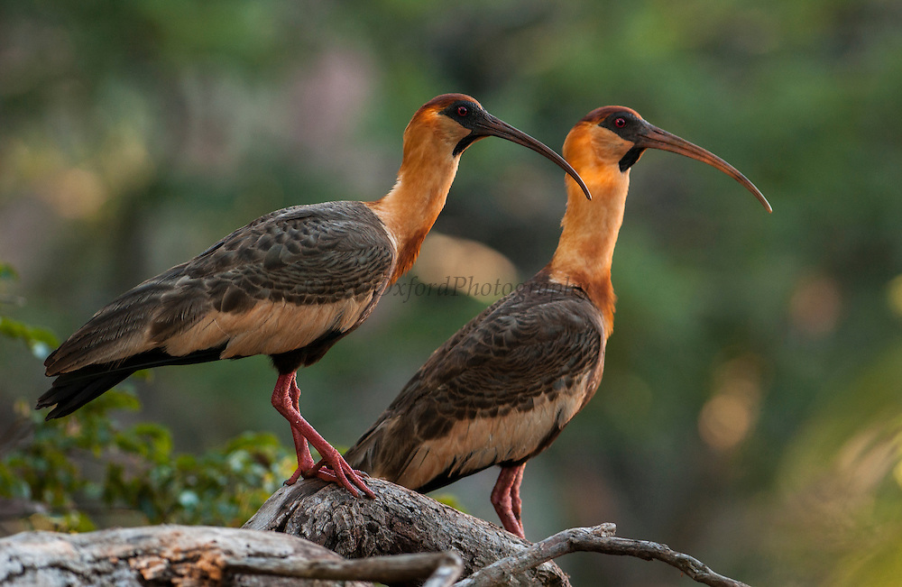 Buff-necked ibis (Theristicus caudatus)<br /> PHOTOGRAPHED IN: Serra da Bodoquena. Limestone elevated area which devides the Pantanal and the Cerrado. Mato Grosso do Sur Province. BRAZIL.  South America.<br /> RANGE: E Colombia, Venezuela, Guianas, se Brazil (Mato Grosso), sw Brazil, E Bolivia, Paraguay, Uruguay and n Argentina.