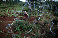 A woman walks through a grove of Khat trees in Meru where the plant is grown.