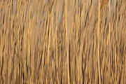 Common Reed, Phragmites australis, Saginaw Bay, Michigan