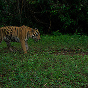 Wild Tiger, Panthera tigris at dusk in Thailand's Dong Phaya Yen - Khao Yai World Heritage site. The picture is taken with an automated camera trap.