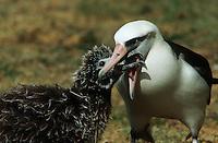 Laysan Albatross (Phoebastria immutabilis) feeding nestling